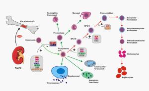 EPO Hämatopoese - come funziona l'eritropoietina