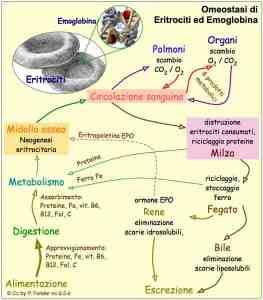 Fisiologia Emoglobina